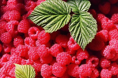 Cueillette des petits fruits près d'Angers, Maine-et-Loire