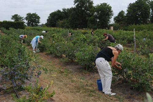 Cueillette de petits fruits (myrtille, framboise, cassis, groseille...) près d'angers, en Maine-et-Loire
