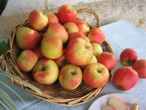 cueillette de pommes bio, à cheffes, près d'Angers