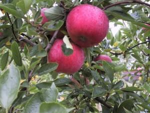 Cueillette de pommes bio, près d'Angers, en Maine-et-Loire