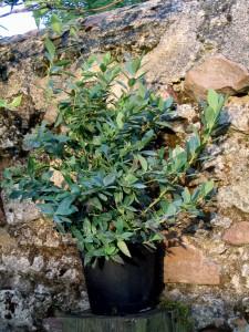 Vente de plants de myrtilliers à Cheffes en Maine-et-Loire