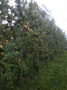 Vente et cueillette de pommes bio, cheffes, Maine-et-Loire
