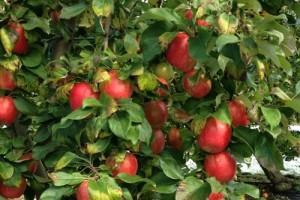 cueillette-pommes-biologiques-maine-et-loire