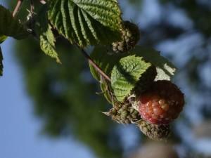Fruits framboises avant récoltes