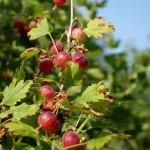 cueillette des fruits rouge