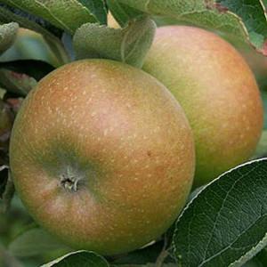 pommier-court-pendu-gris-arbre-en-demi-tige-10-12-racines-nues-1542-p